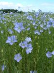 flax_flowers_good_big