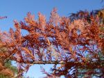 bald_cypress_fall_color_lg