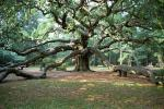 plane-tree-kos