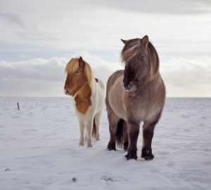 https___cdn.cnn.com_cnnnext_dam_assets_151127104048-icelandic-horses-7